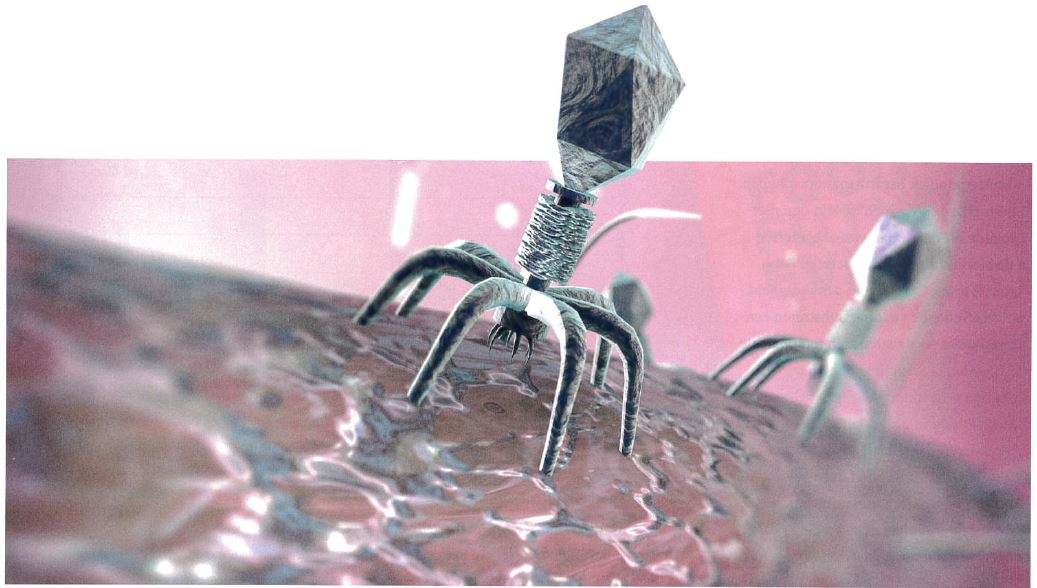 Phages are the natural enemy of bacteria. They thrive in the same conditions as Listeria.