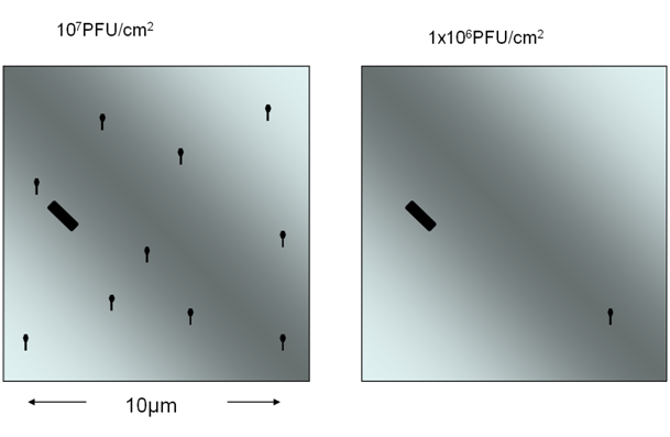 Possible distribution of 107 and 106 PFU/cm2 (plaque forming units) in 100µm2